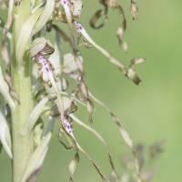 Les orchidées sauvages en Alsace
